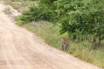 IMG_9900-Leopard