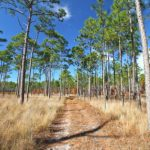 Blue sky, golden grasses and Longleaf pines along a country road in the Croatan National Forest, North Carolina