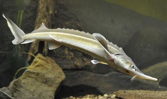 Бестер – гибридный сорт рыбы. Разведение рыбы бестер — гибрид стерляди и белуги Бестер рыба разведение
