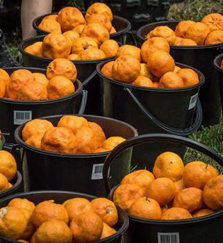 Wiseman's Ferry Mandarin Picking