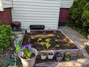 Small square raised bed with young plants, and small potted plants in front of it