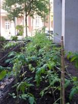 An Amazing Method to Trellis Tomatoes [2013]!
