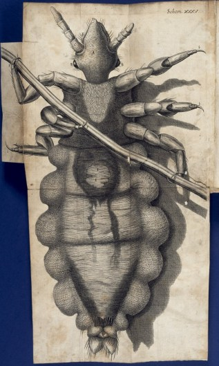 Engraving of a louse clinging to a human hair, from Hooke's Micrographia.