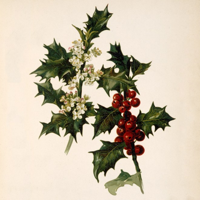 Holly has been a popular Christmas decoration for centuries with its shiny green leaves and red berries. It is also associated with symbolism of Jesus' birth and death, as expressed in the Carol 'The Holly and the Ivy.'