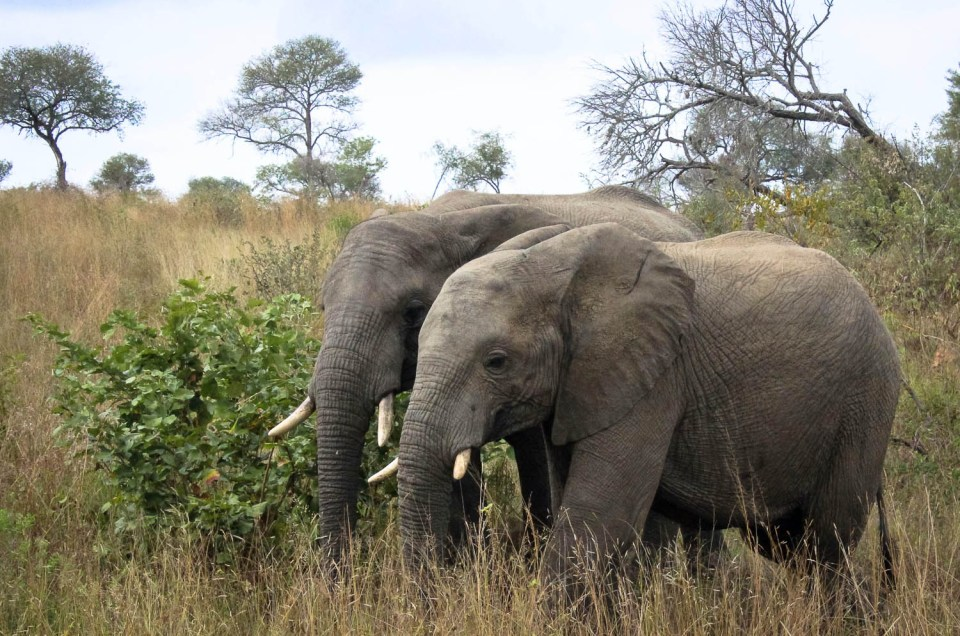 Two elephants walking hip to hip