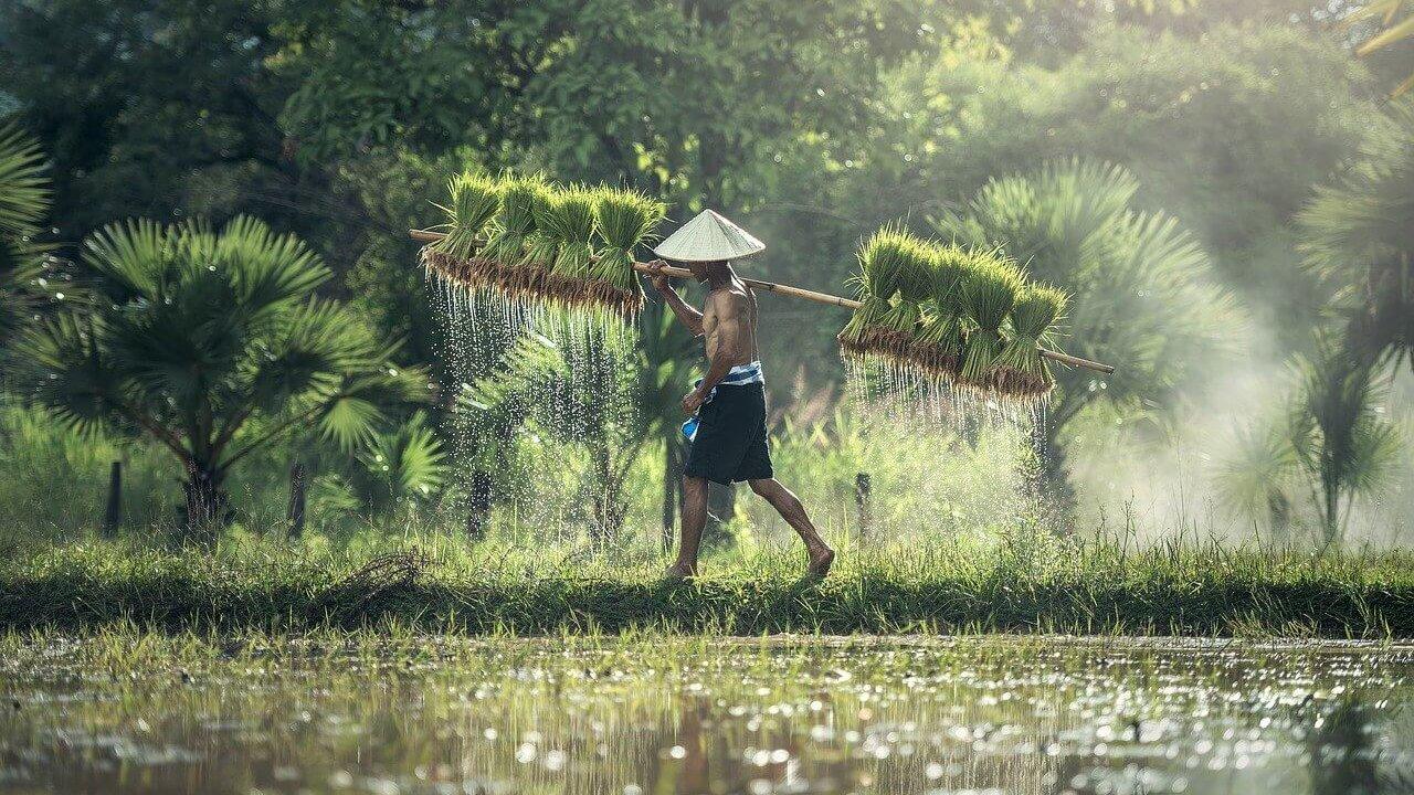 稲刈りをする男性