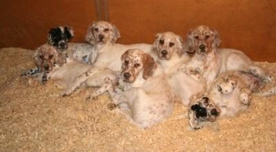 Ryman Setter Puppies