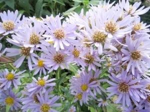 シオン 紫苑