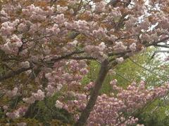 天城ハイランドの山桜