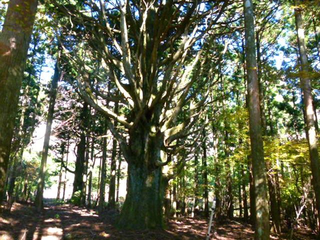 シラヌタの大杉