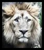 インドライオンの生息地をトラが脅かす?百獣の王よりも虎が強い?