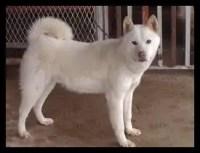 豊山犬,天然記念物