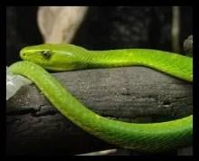 ヒガシグリーンマンバ,毒蛇