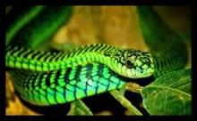 ニシグリーンマンバ,毒蛇