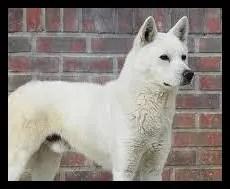 豊山犬はトンイで柴犬に似てるしかわいい【画像】食用でどんな犬?
