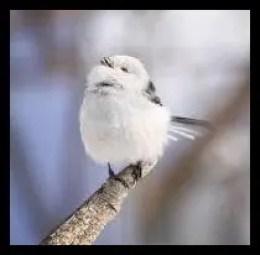 シマエナガ,野鳥,雪の妖精,かわいい