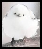 雪の妖精シマエナガがかわいい【画像】生息地や特徴と名前の由来!