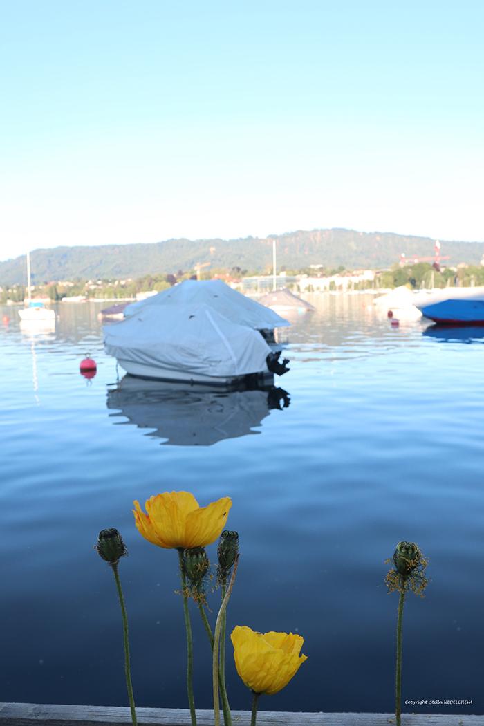 Coquelicots jaunes au bord du lac de Zürich