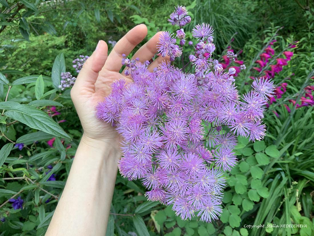 Une main autour des fleurs de pigamon