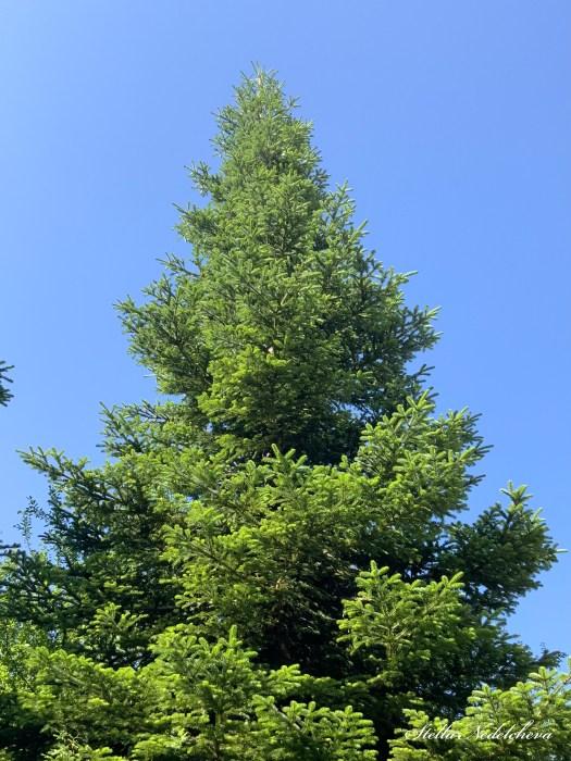 Grand pin se détachant sur le fond du ciel bleu