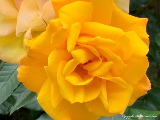 Grande rose jaune