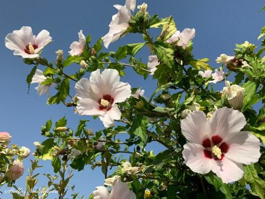 Trois roses trémières sur le fond du ciel bleu