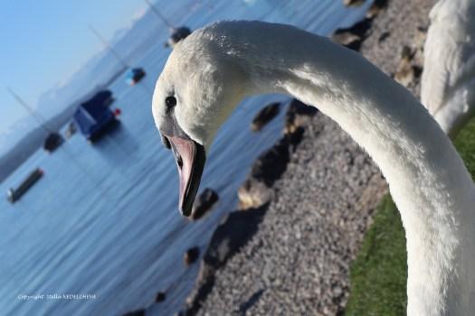 La tête d'un cygne de profil sur le fond du lac de Zurich