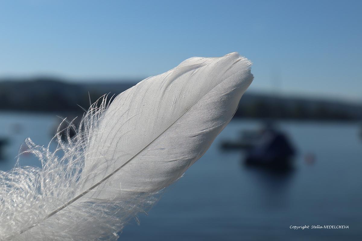 plume de cygne - délicatesse