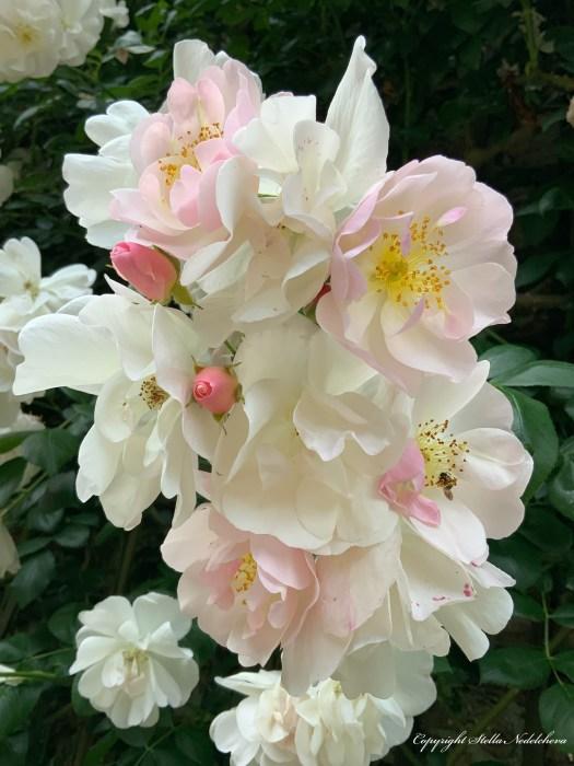 Églantier en fleurs