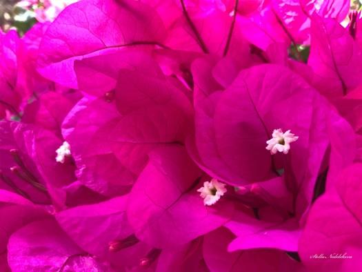 Fleurs de bougainvilliers