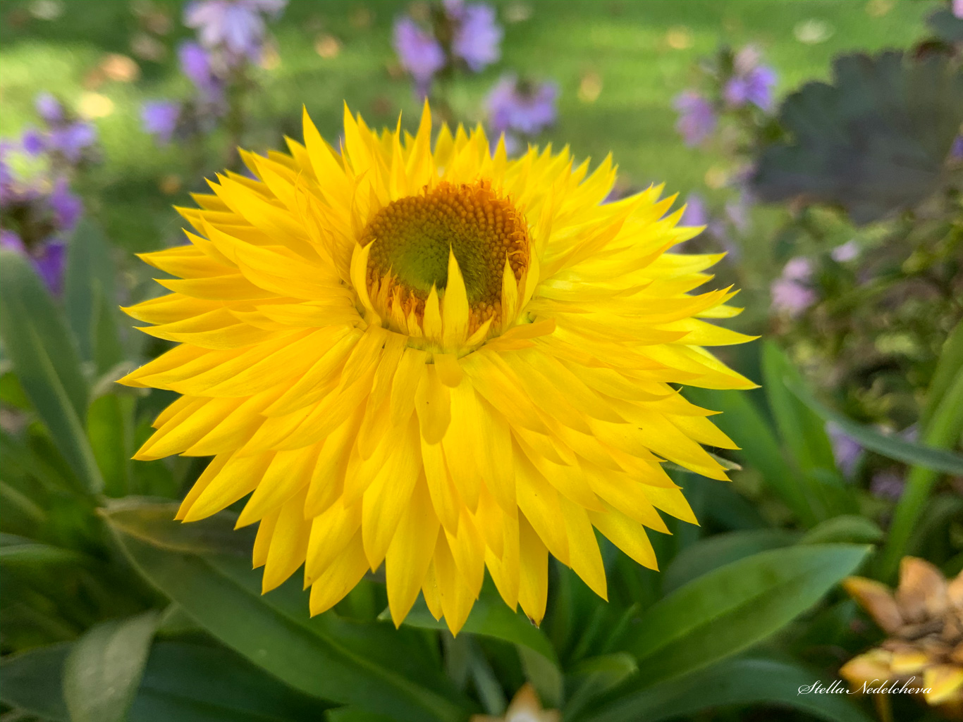 Fleur jaune - dorée éternelle