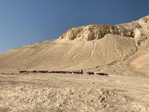 Troupeau passant dans le désert du Néguev