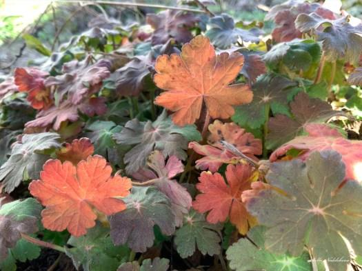 Variété de feuilles de géraniums