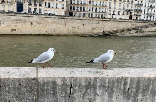 Deux oiseaux marchant au bord de la Seine