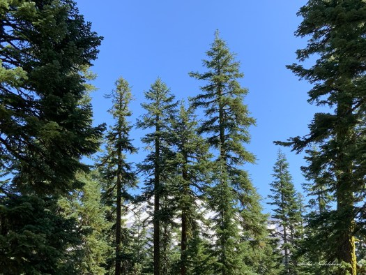 Grands arbres conifères cachant le mont Shasta enneigé, en arrière plan