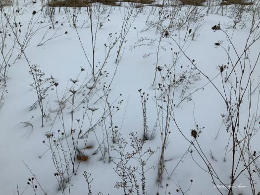 Fleurs et Brins secs dans la neige