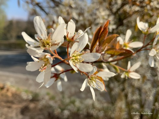 Arbre fleuri au printemps