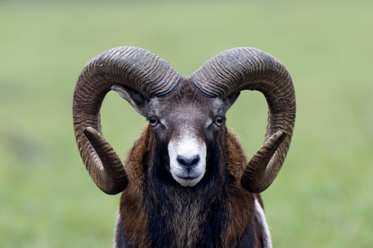 Sheep Study Shows Rams With Big Horns Get The Ewe But