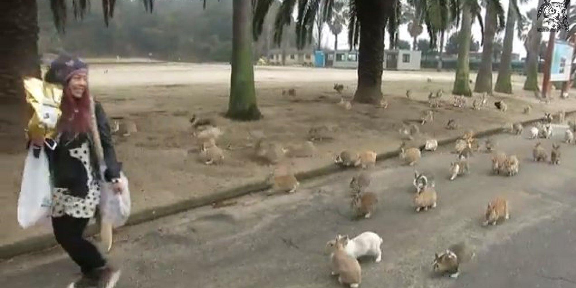 Rabbits On Okunoshima Island Swarm Tourist VIDEO HuffPost