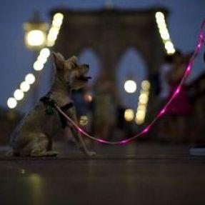 nighttime walk on a bridge, dog, walk, nighttime walk