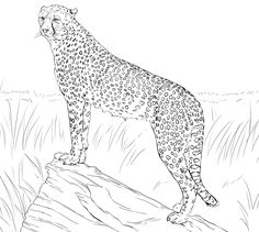 cheetahs coloring and coloring pages on pinterest
