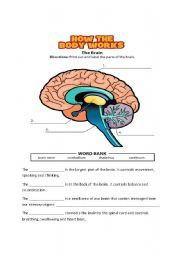 Nervous System FREE Here is a free nervous system worksheet or quiz and answer key to go along