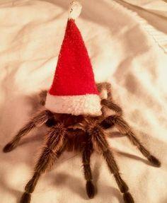christmas tarantula more arachnids spiders christmas tarantula rose