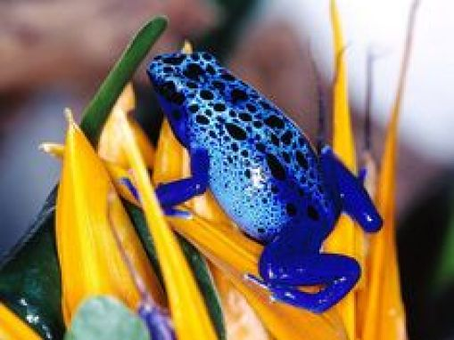 Image result for frogs crossing the highway, panama