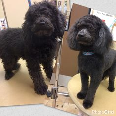 Goldendoodle Before And After Grooming Shaved Doodle