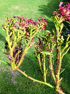 Rose rosette thorn damage....AKA Witches Broom is here in