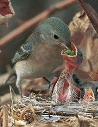 Fledgling baby birds | Fledgling...cute young bird ...