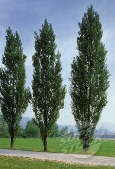 1000 Images About Wind Break Ideas On Pinterest Fence Poplar Tree And Garden Walls