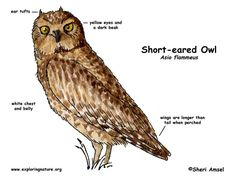 Barn Owl Diagram | Outdoor Science School  Activities for in the Classroom | Pinterest | Food