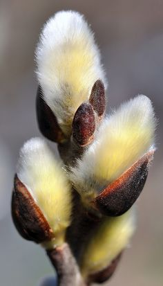 1000 Images About Pussy Willow Plant On Pinterest Pussy Willow Stems And Chickadees